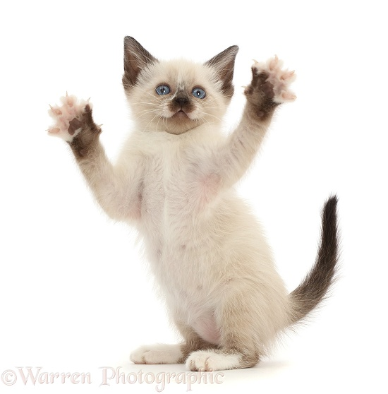 Siamese x Ragdoll kitten, 7 weeks old, playfully grasping, white background