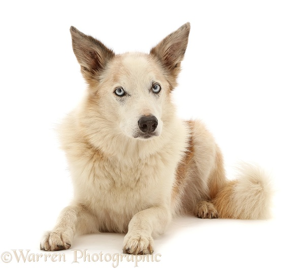 Red merle Border Collie, Zeb, lying with head up, white background