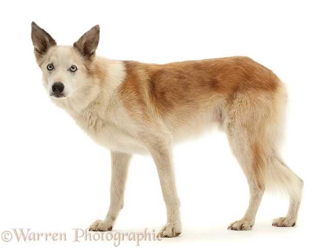 Red merle Border Collie, Zeb, standing, white background
