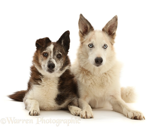 Red merle Border Collie, Zeb, and mongrel dog, Brec, white background