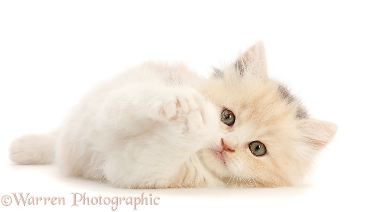 Cream tortoiseshell kitten, 5 weeks old, lying on her side, white background
