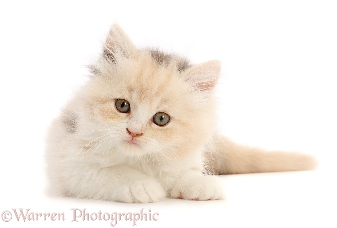 Cream tortoiseshell kitten, 5 weeks old, lying, head up, white background
