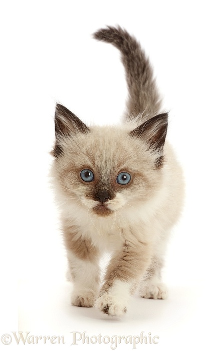 Ragdoll-cross kitten, 6 weeks old, walking, white background
