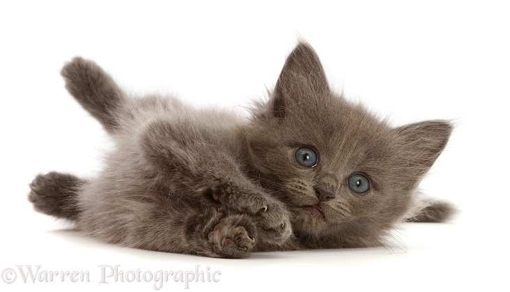 Fuzzy blue-grey kitten, 6 weeks old, lying on his side, white background