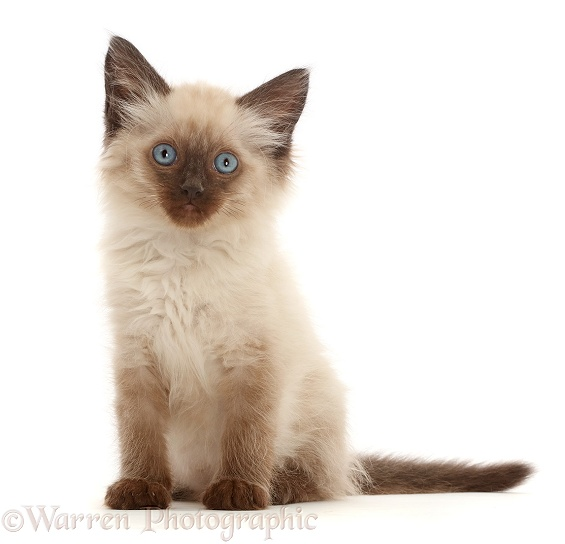 Ragdoll-cross kitten, 8 weeks old, white background
