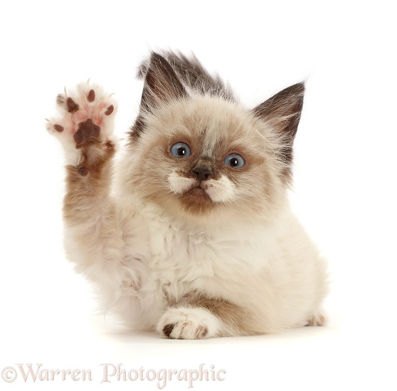 Ragdoll-cross kitten, 8 weeks old, with raised paw, white background