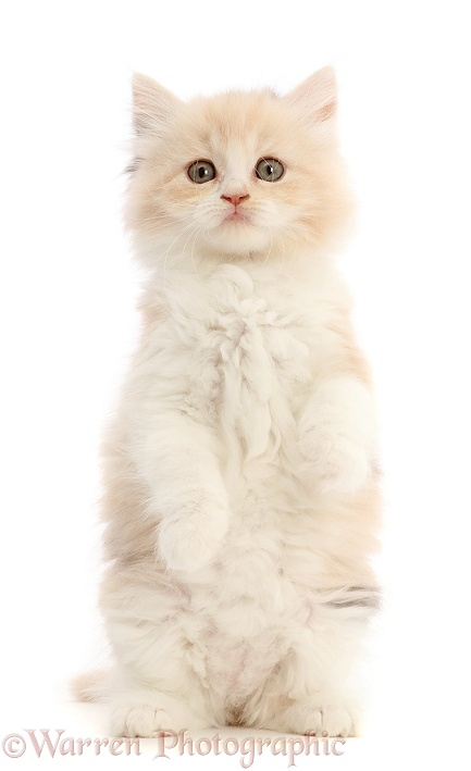 Tortie Persian-cross kitten, 7 weeks old, white background