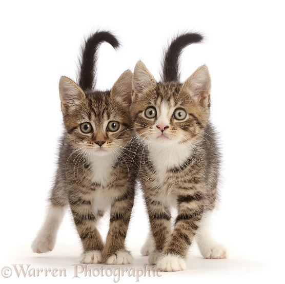 Tabby kittens with big eyes, walking together, white background