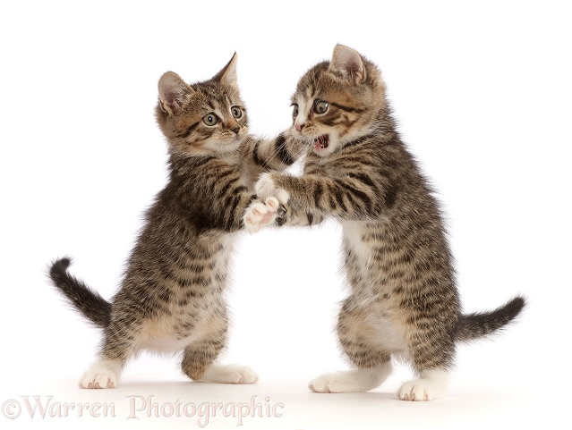 Tabby kittens with big eyes, play-fighting, white background