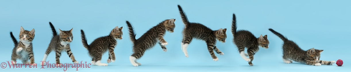 Tabby kitten, leaping and pouncing on a ball