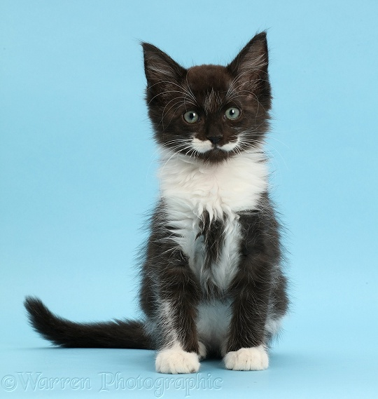 Black-and-white kitten, 8 weeks old, sitting on blue background