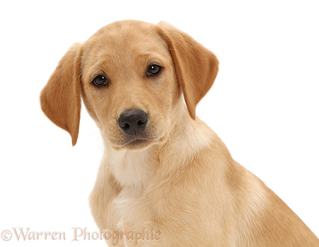 Yellow Labrador retriever puppy, 11 weeks old, white background