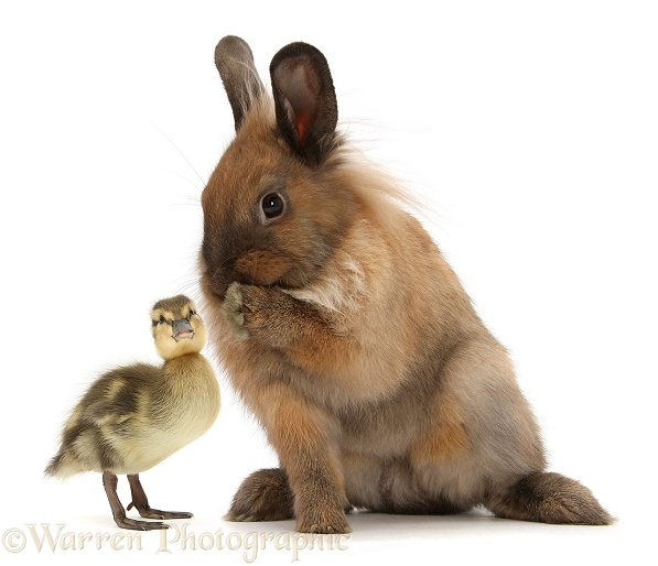 Lionhead-Lop rabbit, paw to mouth, whispering to duckling, white background