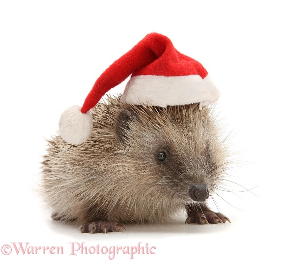 Baby Hedgehog (Erinaceus europaeus) wearing a Father Christmas hat, white background