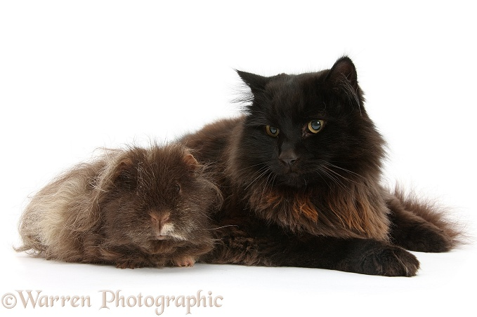 Dark chocolate cat, Scruffy, with shaggy Guinea pig, white background