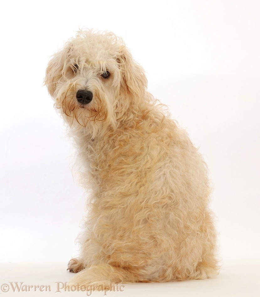 Cream coloured Schnoodle (Miniature Schnauzer x Poodle), 7 months old, sitting with back to camera, white background