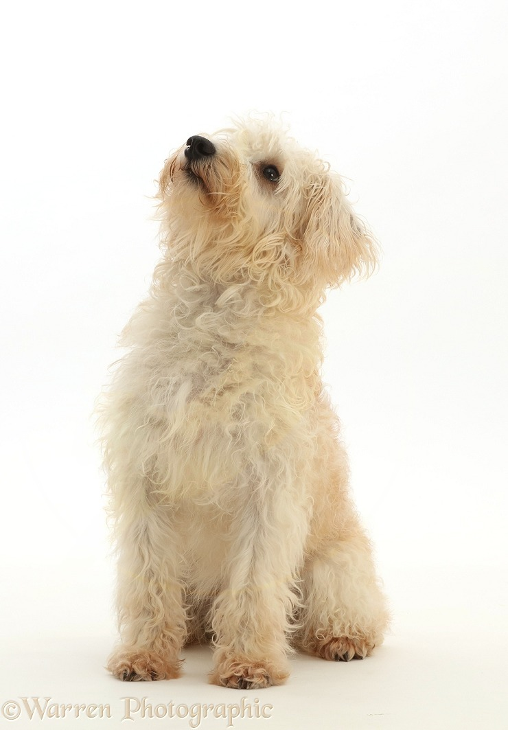 Cream coloured Schnoodle (Miniature Schnauzer x Poodle), 7 months old, sitting looking up with back to camera, white background