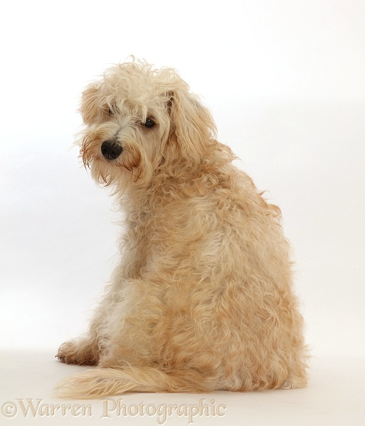 Cream coloured Schnoodle(Miniature Schnauzer x Poodle), 7 months old, sitting with back to camera, white background