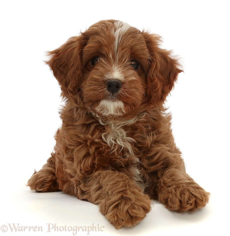 Red Cavapoo dog puppy, 8 weeks old, white background