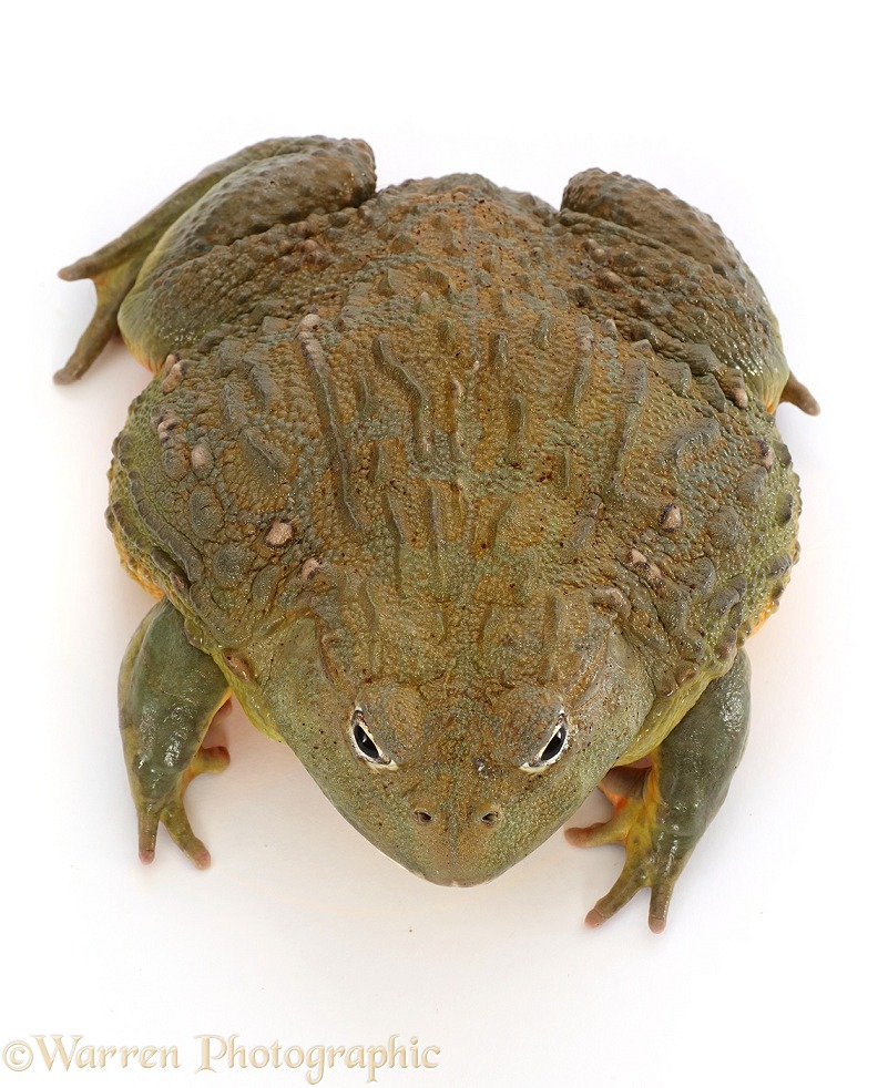 African Bullfrog (Pyxicephalus adspersus), white background