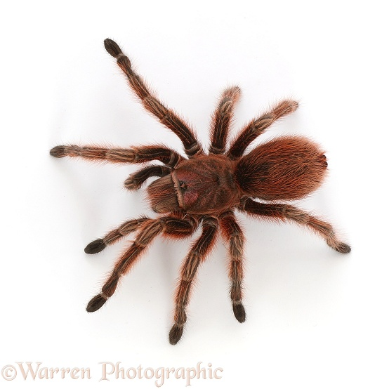Chilean Rose Tarantula (Grammostola rosea).  South America, white background