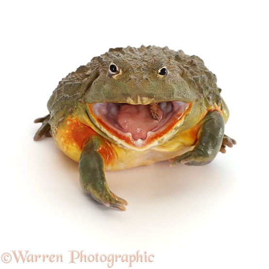 African Bullfrog (Pyxicephalus adspersus), eating a mealworm, white background