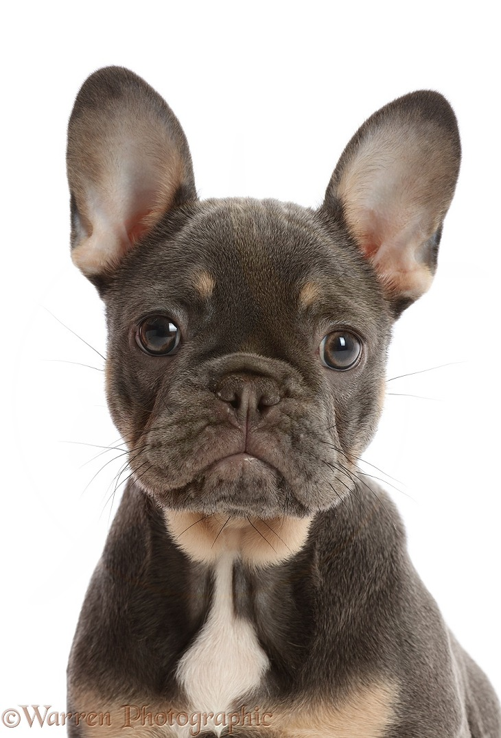 Blue-and-tan French Bulldog puppy portrait, white background