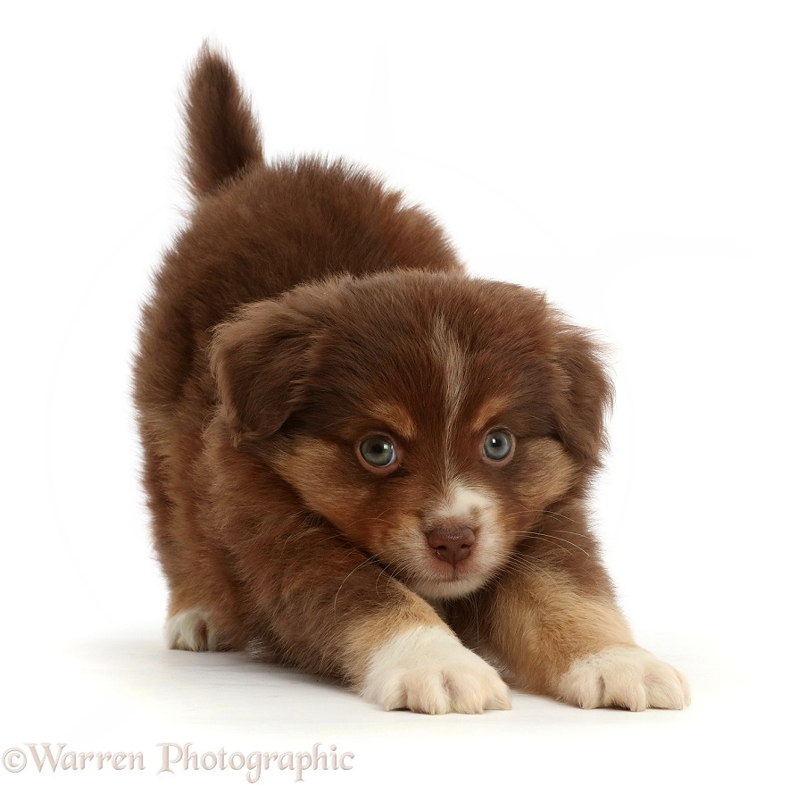 Playful Mini American Shepherd puppy acting like a kitten, white background