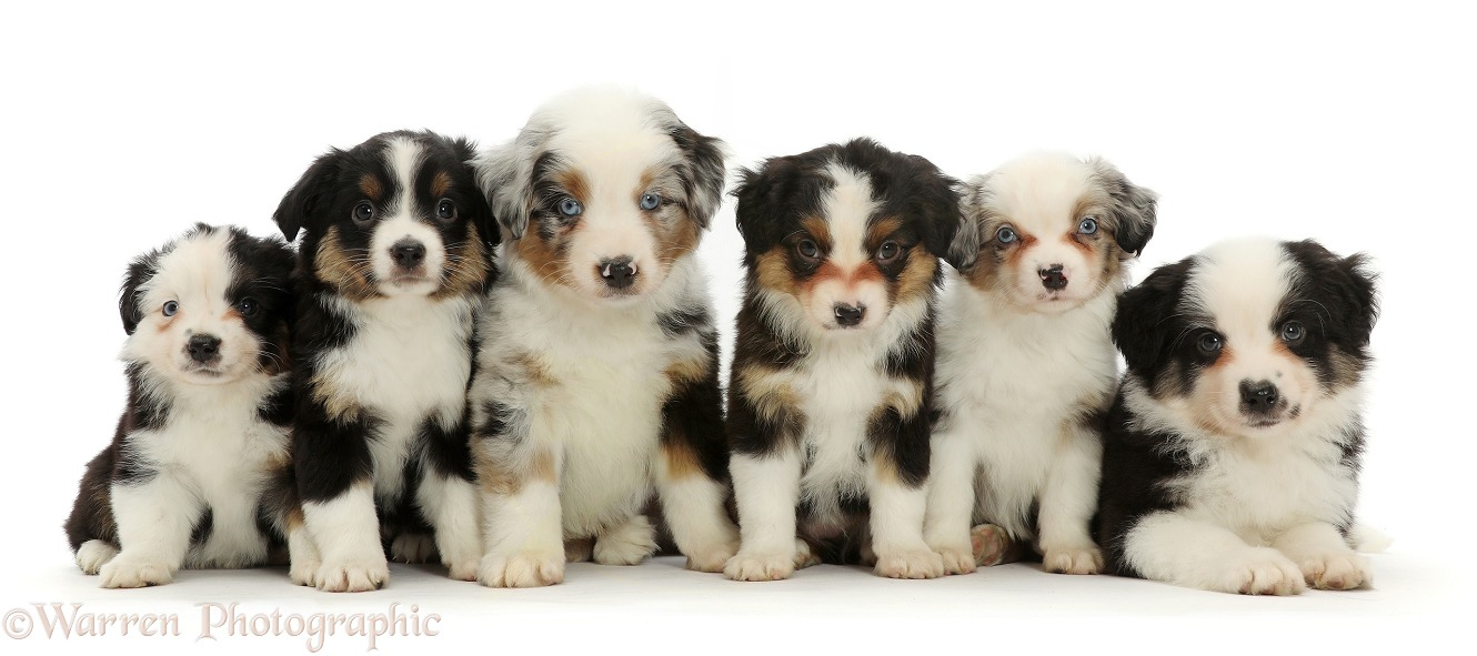 Six Mini American Shepherd puppy, 7 weeks old, white background