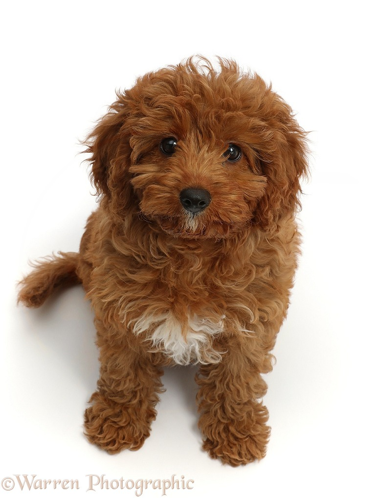 Red Cavapoo puppy, white background