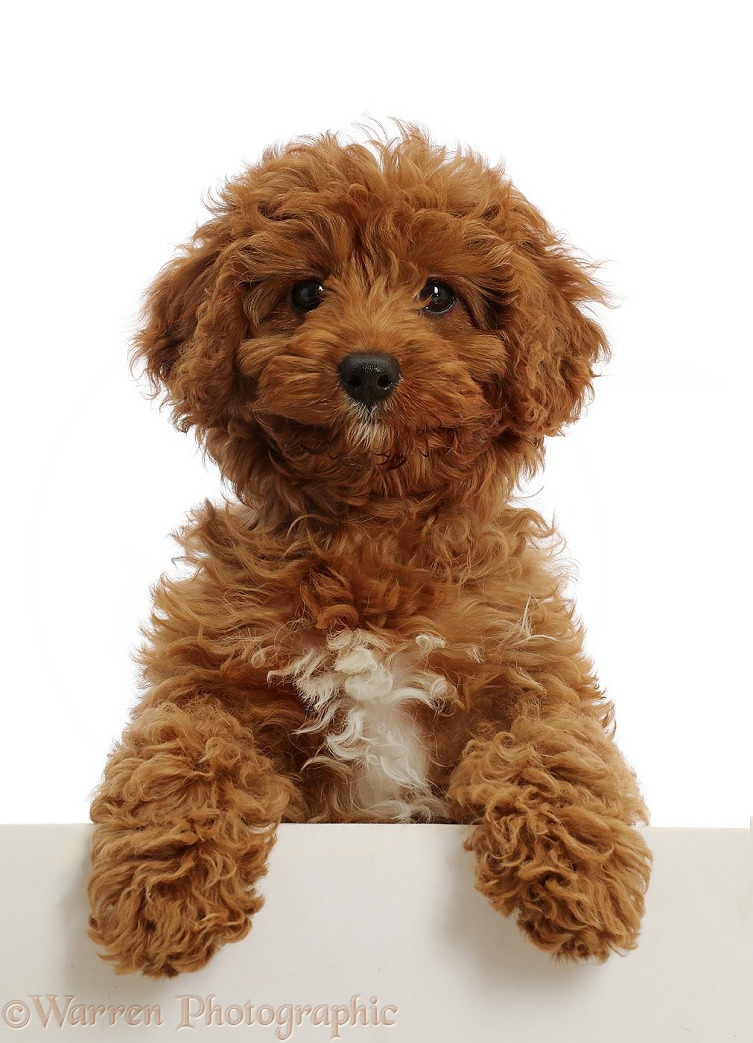 Red Cavapoo puppy, paws over, white background