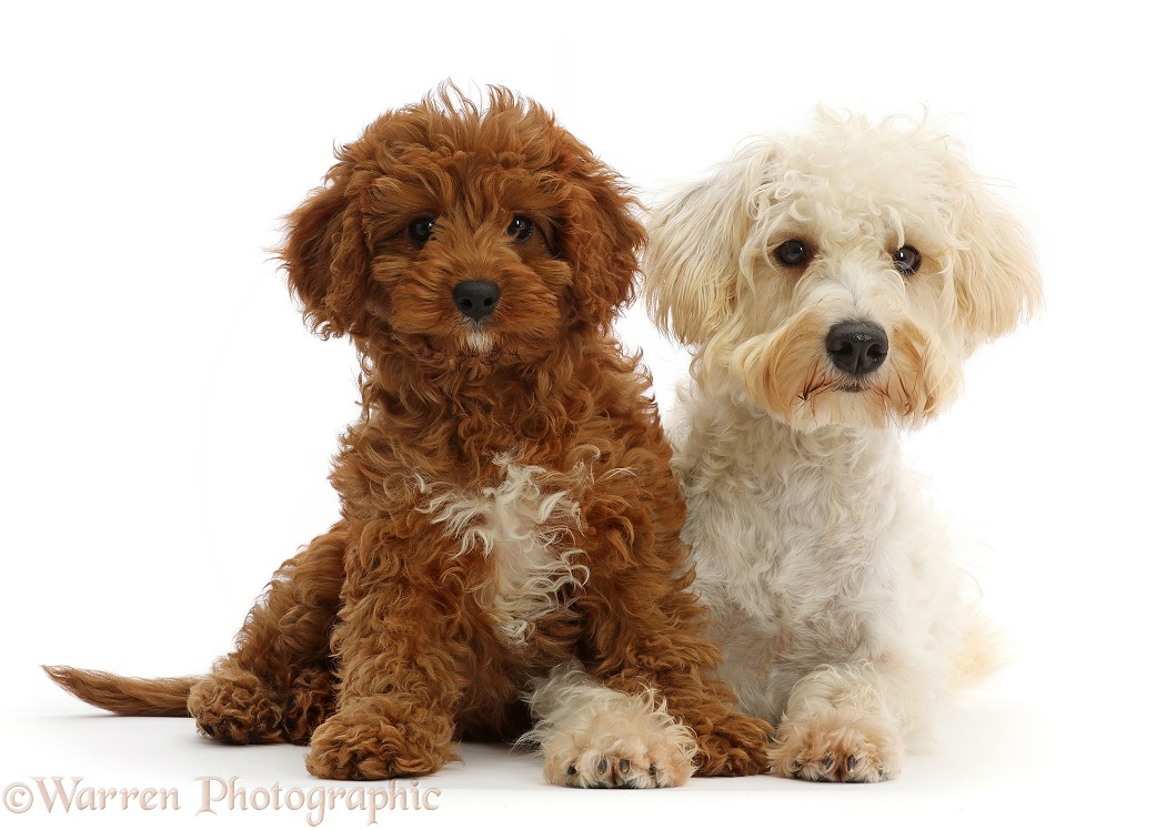 Cream coloured Schnoodle (Miniature Schnauzer x Poodle), 7 months old, and Red Cavapoo puppy, 3 months old, white background