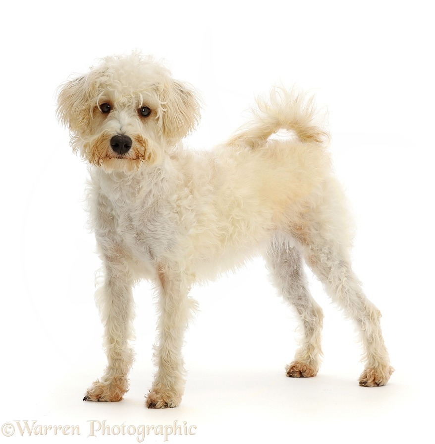 Cream coloured Schnoodle (Miniature Schnauzer x Poodle), 7 months old, standing, white background