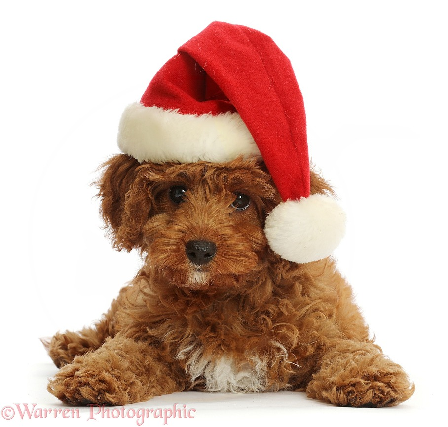 Red Cavapoo puppy wearing a Father Christmas hat, white background