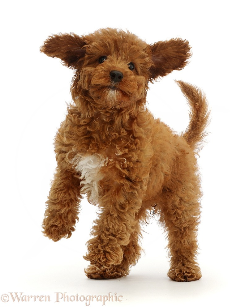 Playful Red Cavapoo puppy, white background