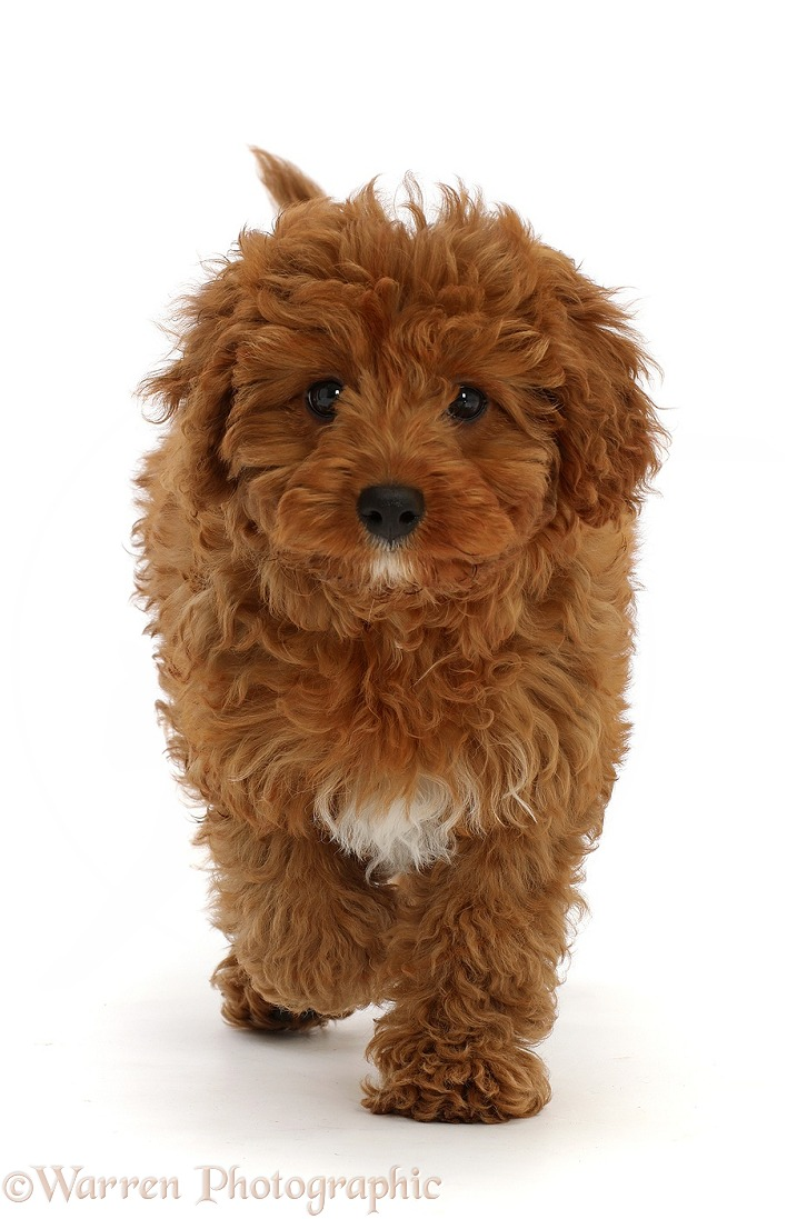 Red Cavapoo puppy, running, white background