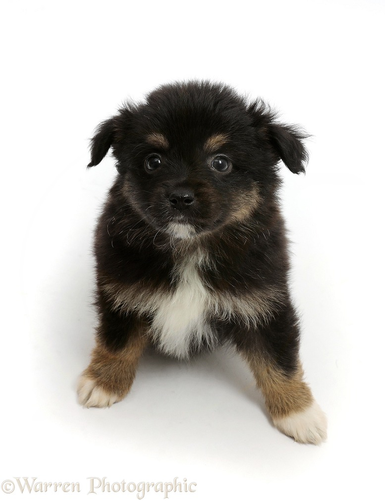Mini American Shepherd puppy, 7 weeks old, sitting looking up, white background