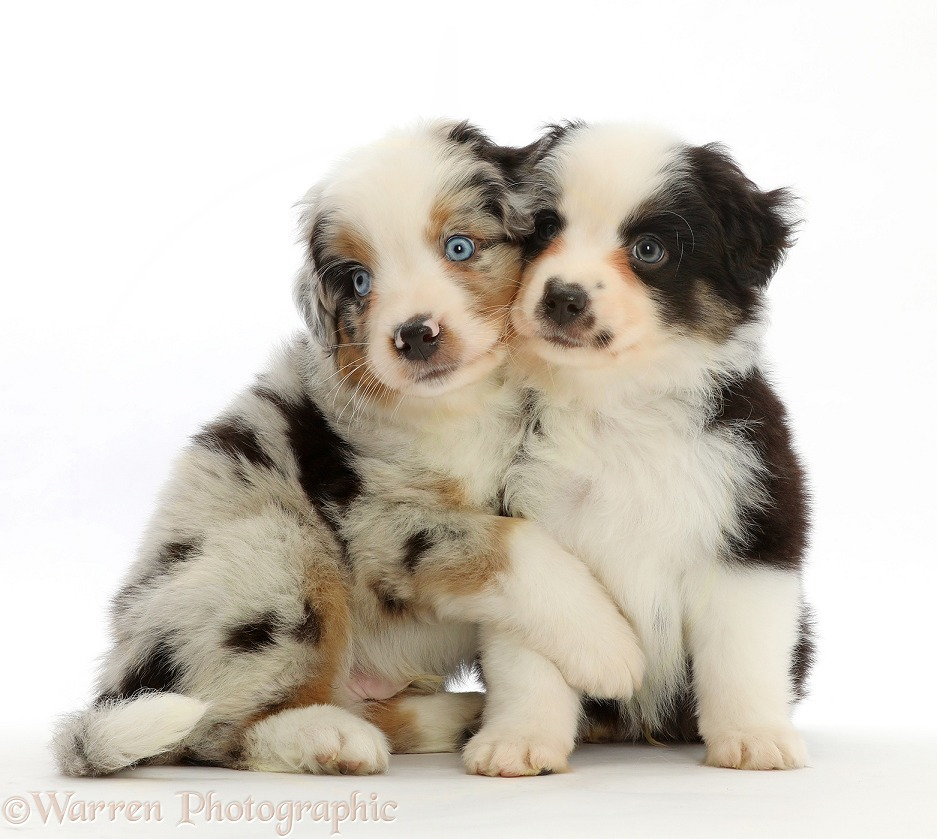 Mini American Shepherd puppies, 7 weeks old, hugging, white background