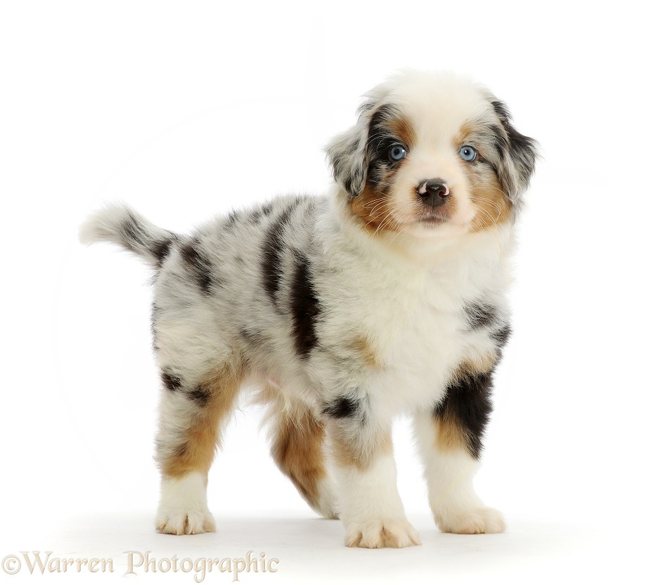 Mini American Shepherd puppy, 7 weeks old, standing, white background