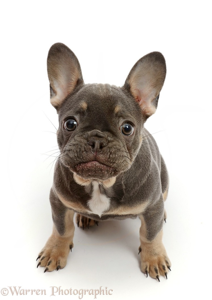 Blue-and-tan French Bulldog puppy sitting looking up, white background
