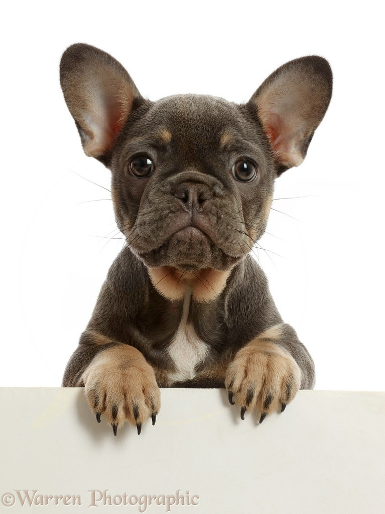 Blue-and-tan French Bulldog puppy paws over, white background