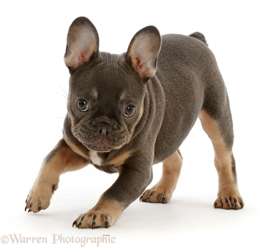 Blue-and-tan French Bulldog puppy, white background