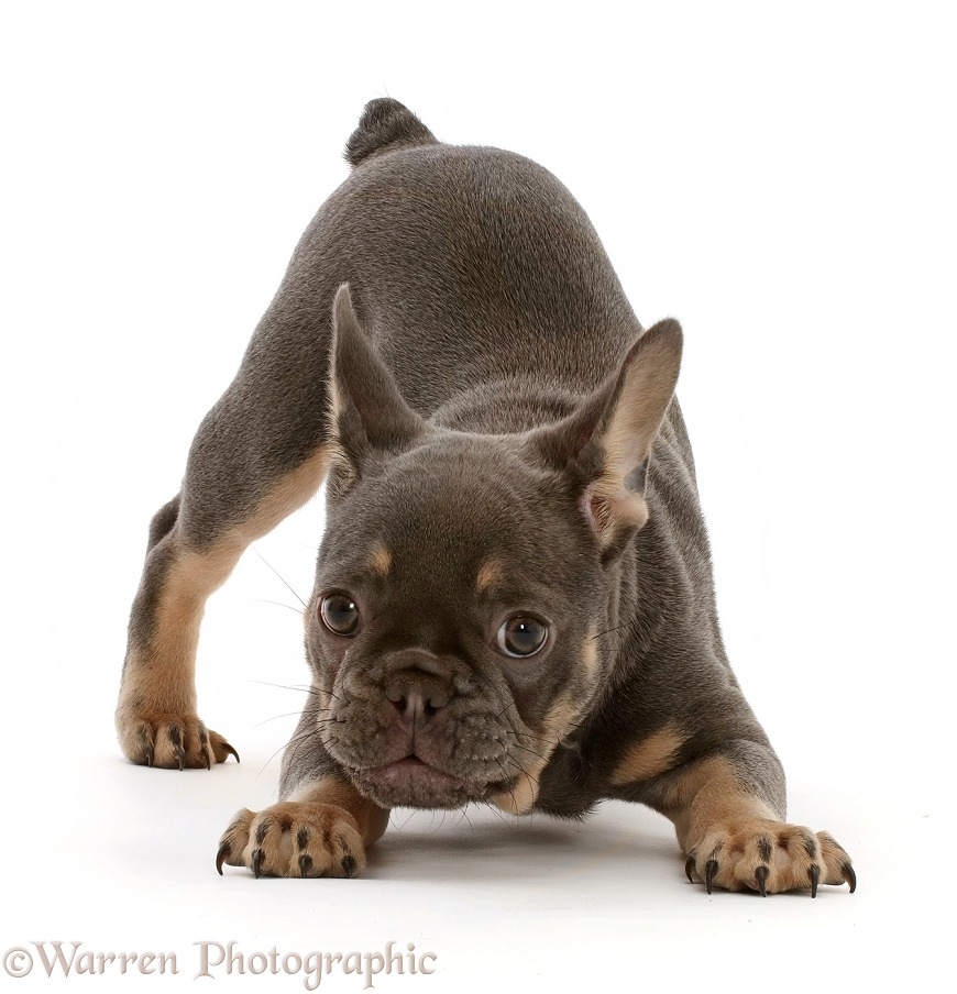 Blue-and-tan French Bulldog puppy in play-bow, white background