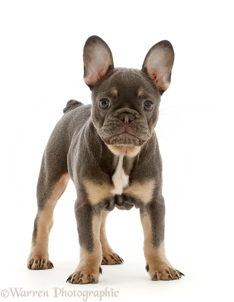 Blue-and-tan French Bulldog puppy standing, white background