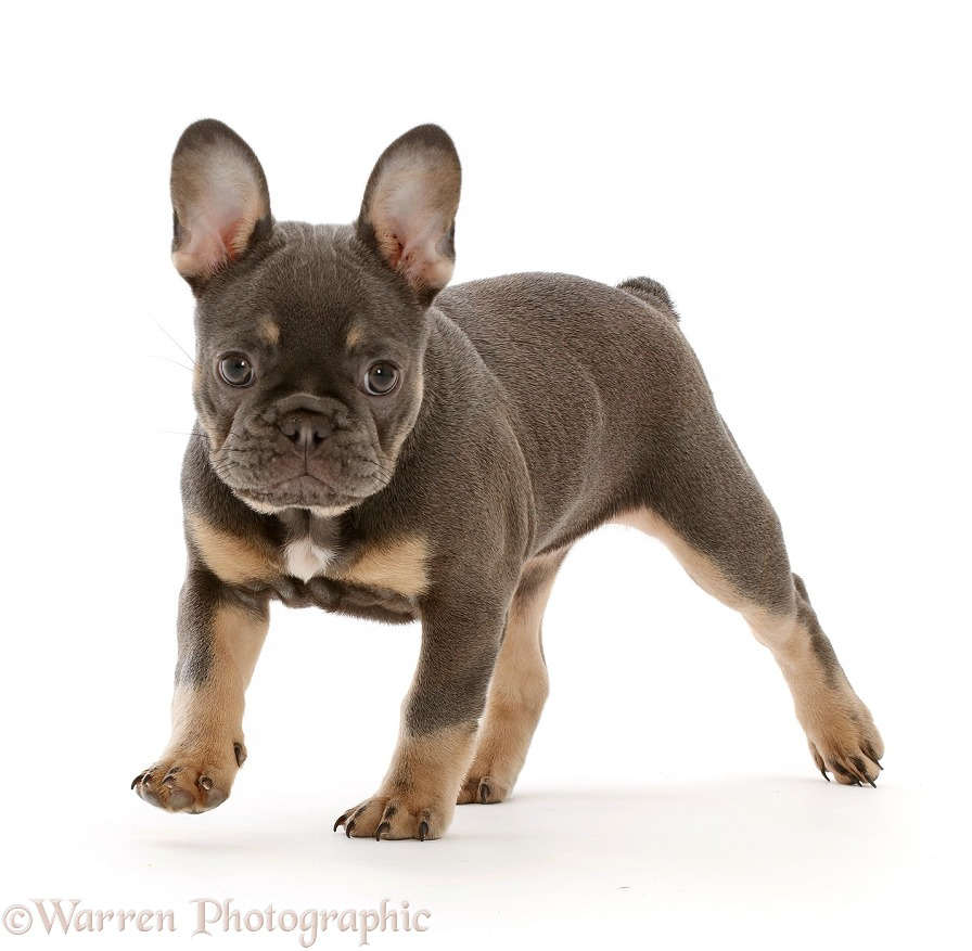 Blue-and-tan French Bulldog puppy trotting, white background