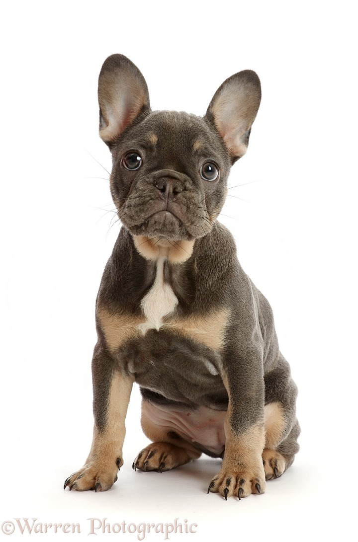 Blue-and-tan French Bulldog puppy sitting, white background