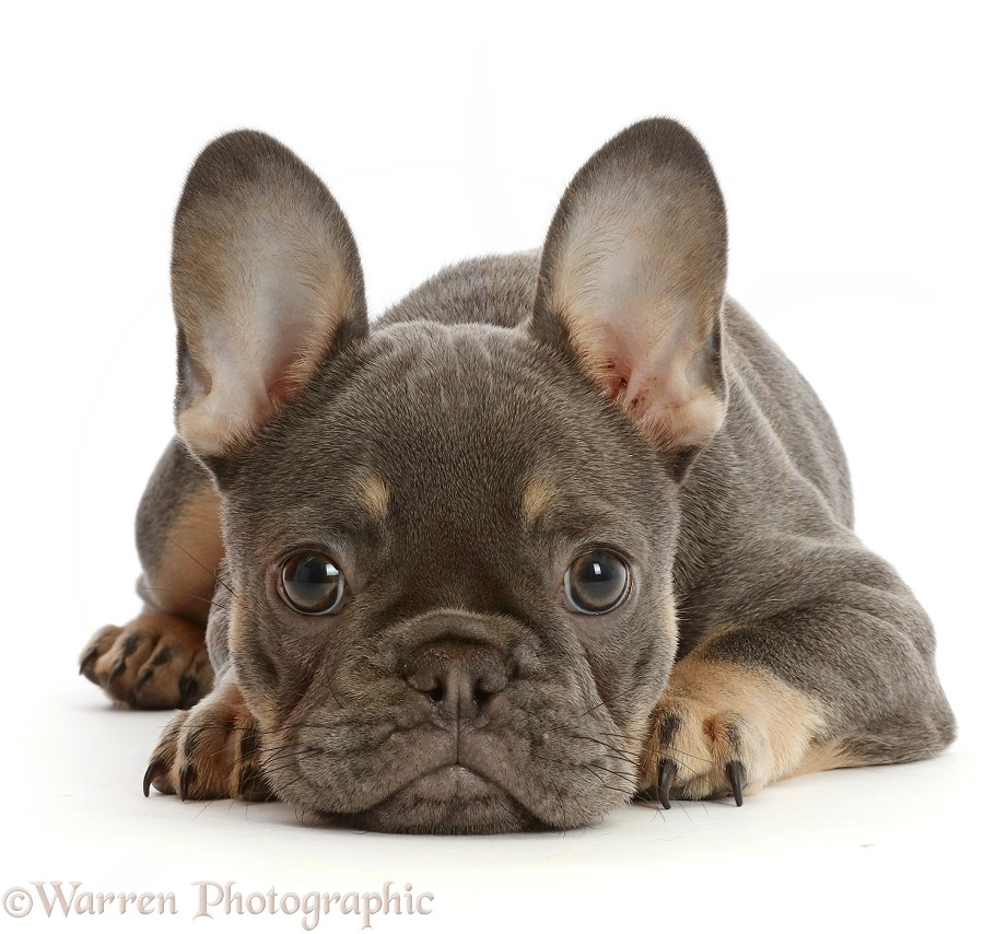 Blue-and-tan French Bulldog puppy lying, chin on floor, white background
