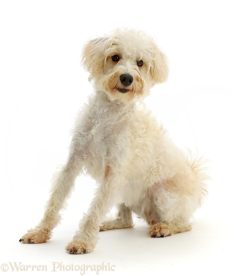 Cream coloured Schnoodle (Miniature Schnauzer x Poodle), 7 months old, white background
