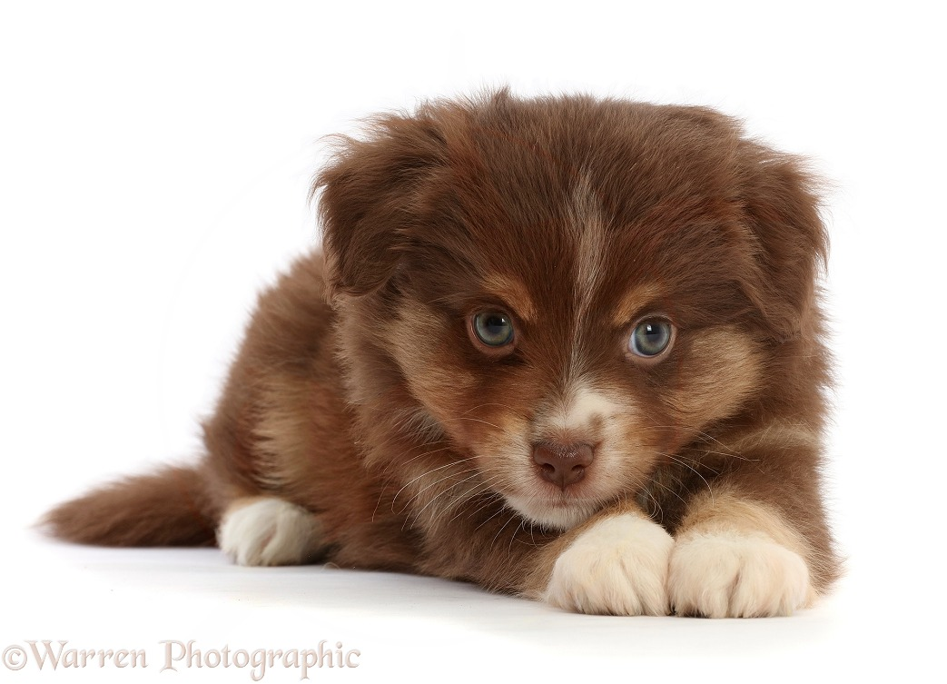 Playful Mini American Shepherd puppy, white background