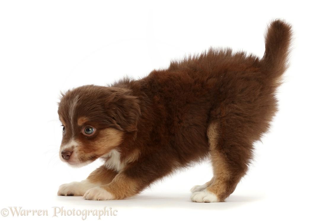 Mini American Shepherd puppy, 7 weeks old, walking, white background
